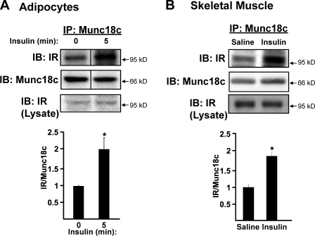 Insulin stimulates the association of IR with Munc18c. (A) Munc18c was immunoprecipitated (IP) from cleared detergent lysates prepared from fully differentiated 3T3-L1 adipocytes that were incubated in serum-free medium for 2 h and then stimulated with 100 nM insulin for 5 min. Proteins were resolved by 10% SDS-PAGE and immunoblotted (IB) with anti-Munc18c and anti–insulin receptor (IR) antibodies. Data are from three independent sets of lysates quantified as the ratio of IR–Munc18c, with each set normalized to basal = 1.0; *, P