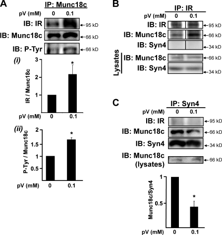 pV induces IR–Munc18c complex formation and Munc18c–syntaxin 4 dissociation. (A–C) Cleared detergent lysates prepared from fully differentiated 3T3-L1 adipocytes that were incubated in serum-free medium for 2 h and then treated with or without 0.1 mM of freshly prepared pervanadate (pV) for 5 min were used in coimmunoprecipitation (IP) reactions: anti-Munc18c (A), anti-IR (B), or anti–syntaxin 4 (C, Syn4). Anti-Munc18c and anti–syntaxin 4 immunoprecipitation reactions were processed in parallel from the same starting lysates, which were confirmed to contain equivalent Munc18c protein (lysates). Munc18c and syntaxin 4 abundances in corresponding starting lysates used for B were also confirmed (Lysates). Coimmunoprecipitated proteins were resolved on 10% SDS-PAGE for immunoblotting (IB) with anti-Munc18c, anti-IR, and anti–syntaxin 4 antibodies; the Munc18c blot was stripped and reprobed with antiphosphotyrosine 4G10 (P-Tyr). Data represent the means ± SEM from three independent experiments for each type of immunoprecipitation, quantified as the ratio of IR/total Munc18c (A, i ), tyrosine-phosphorylated Munc18c/total Munc18c (A, ii ), or Munc18c/total syntaxin 4 (C) immunoprecipitated, with each set normalized to untreated = 1.0; *, P