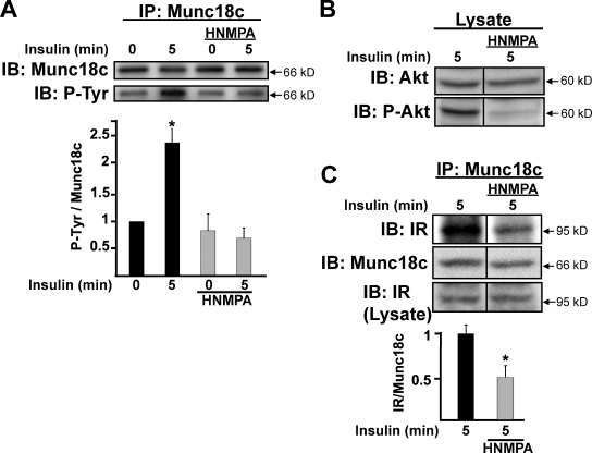 IR kinase activity is required to evoke IR binding and tyrosine phosphorylation of Munc18c. Fully differentiated 3T3-L1 adipocytes were preincubated in serum-free media for 1 h followed by an additional 1 h with or without the IR kinase activity inhibitor HNMPA-(AM) 3 (100 µM) before insulin stimulation for 5 min. (A) Cleared detergent lysates were prepared and used for Munc18c immunoprecipitation (IP) and detection of tyrosine-phosphorylated Munc18c (P-Tyr) using phosphotyrosine-specific 4G10 or PY20 antibodies; this experiment was performed by reprobing of the same blot with both antibodies. (B) HNMPA-(AM) 3 action was validated by detection of reduced Akt phosphorylation in the lysates used for immunoprecipitation; this experiment was performed by reprobing of the same blot with both antibodies. (C) IR is coimmunoprecipitated by anti-Munc18c. Coimmunoprecipitated proteins were resolved on 10% SDS-PAGE for immunoblotting (IB) with anti-Munc18c and anti-IR antibodies. IR abundance in corresponding starting lysates was confirmed by immunoblotting (Lysate). Data represent the means ± SEM from three independent sets of lysates for each panel, with each set normalized to basal = 1.0 (A) or insulin stimulation without HNMPA-(AM) 3 = 1.0 (C); *, P