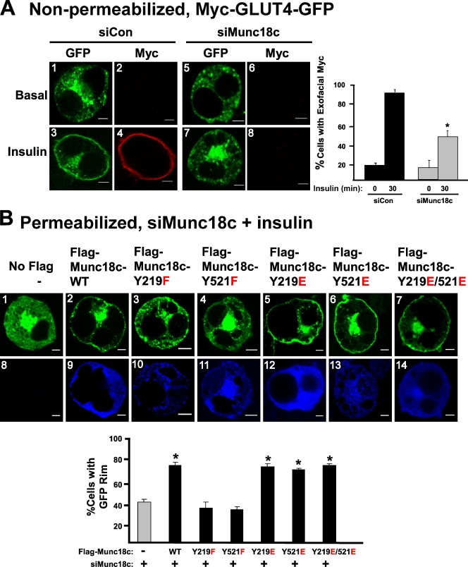 Munc18c residues Tyr219 and Tyr521 are essential for insulin-stimulated GLUT4 vesicle exocytosis. (A) <t>3T3-L1</t> adipocytes coelectroporated with Munc18c-specific (siMunc18c) or nontargeting control (siCon) shRNA plus Myc-GLUT4-GFP plasmid DNAs were left unstimulated or were stimulated with 100 nM insulin for 30 min followed by fixation but not permeabilization. Exofacial Myc exposure was determined by anti-Myc immunostaining (red) followed by immunofluorescent confocal microscopy. GFP fluorescence was examined to indicate subcellular location of GLUT4-GFP vesicles (green). The number of Myc-stained cells relative to the total number of GFP-fluorescing cells (≥50 cells per condition) was quantified in at least three independent sets of cells as depicted in the bar graph inset; *, P