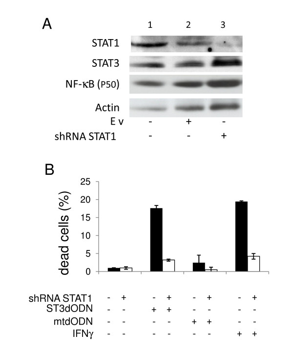 Involvement of STAT1 expression level in STAT3-decoy ODN-induced cell death . Colon carcinoma SW 480 cells transduced either with control virus (black histograms) or with STAT1-specific shRNA (white histograms). A : Detection of STAT1 by western blotting of control cells (1), cells transduced with an empty virus (Ev) (lane 2), and with a STAT1-specific shRNA lentivirus (3). Below are shown the detection of STAT3, the NF-κB (p50 subunit) and actin in the same extracts. B : Detection of dead cells by trypan blue exclusion counting. Control non-treated (black histograms) and STAT1-shRNA-treated cells (white histograms) were either not treated or transfected with STAT3-decoy ODN (ST3dODN) (48 h), mutated STAT3-decoy ODN (mtdODN) (48 h) or IFNγ (100 ng/ml, 48 h). Data are expressed in % of dead cells.