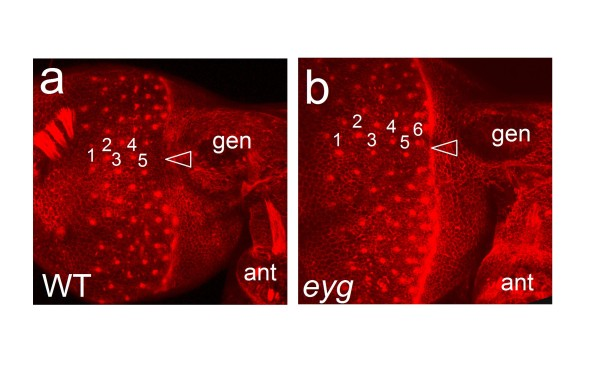 Eye morphogenesis in Tribolium eyg knockdown pupae . (a, b) Confocal images of lateral head of phalloidin labeled 24 h old Tribolium pupa of wild type (a) and eyg knockdown (b) specimens. Numbers indicate vertical columns of differentiating ommatidial precursor clusters. Arrowheads point at midline area of the anterior differentiating retina. ant = antenna, gen = gena.