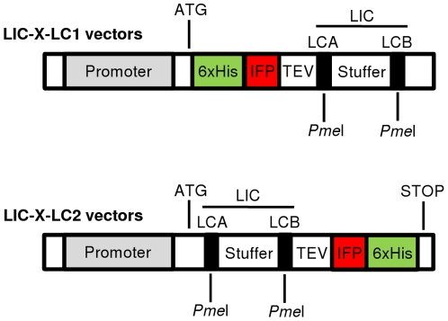 LIC-compatible expression vectors. The pool of LIC-compatible vectors comprises vectors for expression of IFP fusion proteins in multiple expression systems, i.e. in vitro (LIC-pIVEX-LC1/-LC2) and in vivo in E. coli (LIC-pDEST-LC1/-LC2), K. lactis (LIC-pKLAC-LC1/-LC2), P. pastoris (LIC-pPICZ-LC1/-LC2) and L. tarentolae (LIC-pLEXSY-LC1/-LC2). The pool includes LC1 and LC2 vectors encoding 6xHis-IFP-TEV-ProteinX and ProteinX-TEV-IFP-6xHis fusions, respectively, after ligation-independent cloning of ProteinX-encoding open reading frames into the LCA and LCB sites. The maker proteins IFP and 6xHis can be cleaved off at the TEV protease cleavage site next to a PmeI site used for LIC. LCA and LCB sites are introduced into target open reading frames by PCR. The LIC fragment was designed on the basis of a 670-bp stuffer fragment, flanked by the LIC annealing sites LCA and LCB, respectively, both of which encompass a PmeI restriction site. The stop codon of LC2 vectors is provided by the vector whilst for LC1 vectors it has to be added by the reverse primer during PCR amplification of the target open reading frame.