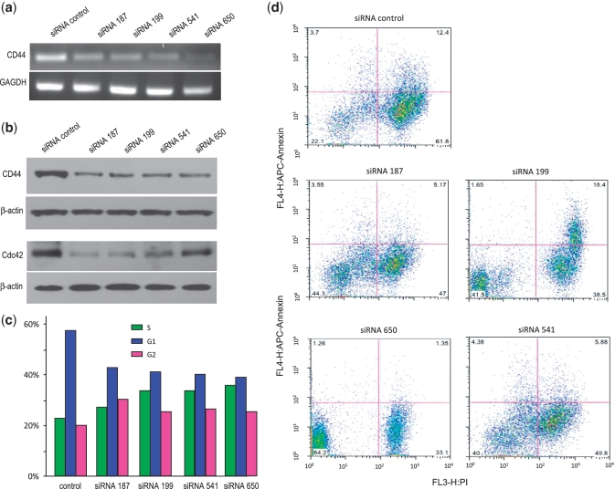siRNA against the CD44 3′-UTR enhances proliferation and decreases CD44 and CDC42 protein levels and apoptosis. ( a ) Total RNA was collected from CD44 3′-UTR cells transfected with different siRNAs targeting CD44 3′-UTR. These samples were used in RT–PCR to measure CD44 mRNA levels. All siRNAs were found to decrease the levels of CD44 mRNA. ( b ) CD44 3′-UTR and control cells were transfected with different siRNAs targeting the CD44 3′-UTR. Cell lysates were subjected to western-blot analysis. Both CD44 and CDC42 levels decreased as a result of siRNA targeting CD44 3′-UTR. ( c ) Cell-cycle distribution was analyzed. There was an increase in the S and G2 phases of the siRNA treated cells compared with the control, which had an increased G1 population. n = 3. ( d ) Apoptosis of the siRNA treatment was analyzed using Annexin V staining. Treatments with siRNA-187, siRNA-541 and siRNA-650 decreased apoptosis compared with the control. n = 5.