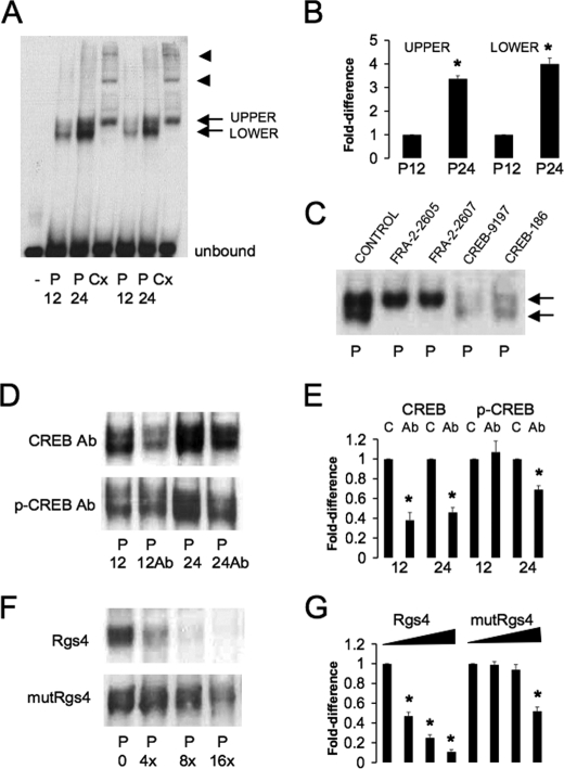 Protein composition and specificity of DNA binding activity at the Rgs4 AP-1R sequence in vitro . Representative chemiluminescent images of EMSAs showing bands of biotin-labeled oligonucleotide probe shifted in the presence of nuclear protein extracts (1.2 μg) from either pineal gland ( P ) or brain cortex ( Cx ). A , note that two shifted bands ( upper and lower arrows ) are observed in the pineal gland, whereas only the equivalent upper band is observed in the cortex together with two additional slower migrating bands ( arrowheads ). Note that both EMSA bands are more abundant in pineal samples extracted at 12.00 versus 24.00 h. Unbound (free) probe is indicated at the gel base. B , summated results of multiple EMSAs comparing the abundance of the upper and lower shifted bands in pineal glands sampled at either 12.00 and 24.00 h. Values are fold-difference compared with the level at 12.00 h (mean ± S.E., n = 6, *, p