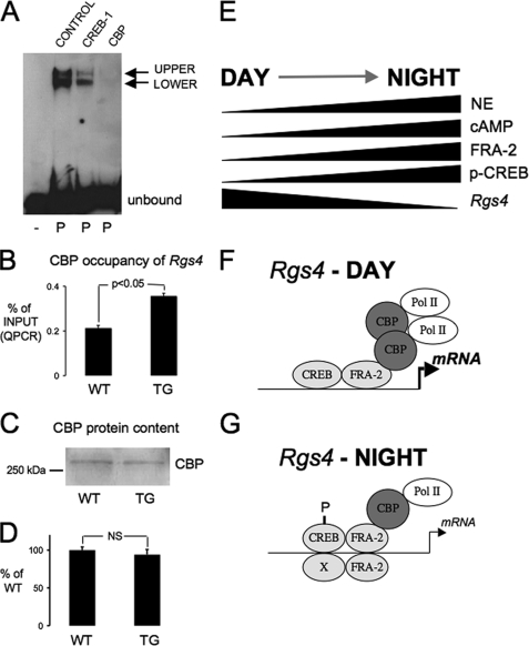 Mechanistic basis for nocturnal Rgs4 down-regulation by FRA-2. A , CBP is associated with the Rgs4 promoter. Chemiluminescent image of a representative EMSAs showing bands of biotin-labeled oligonucleotide probe shifted in the presence of nuclear protein extracts (1.2 μg) from pineal gland ( P ). The shifted bands are partially abrogated in the presence of a CREB-1 antisera (sc-186) and completely abrogated in the presence of CBP antisera (A22). A rabbit IgG was used in the Control lane. B , ChIP analysis revealed increased nocturnal occupancy of CBP at the Rgs4 promoter in DN-FRA-2 transgenic ( TG ) rat pineal glands sampled at night (24.00 h) compared with wild-type ( WT ) controls. Data were quantified by QPCR, expressed as % of input DNA (mean ± S.E.) and summated in histograms ( n = 4 assays from four individual groups of rats, p