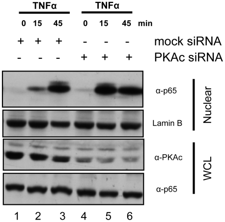 Knock down of endogenous PKAc accelerates nuclear accumulation of endogenous p65. HeLa cells were transfected with mock siRNA (lanes 1–3) or PKAc siRNA (lanes 4–6) for 36 hours, serum starved for 12 hours, and then stimulated with TNFα for 0, 15, or 45 min. Samples were analyzed on 10% SDS-polyacrylamide gels and Western blotted with antibodies to p65, PKAc, and lamin B.