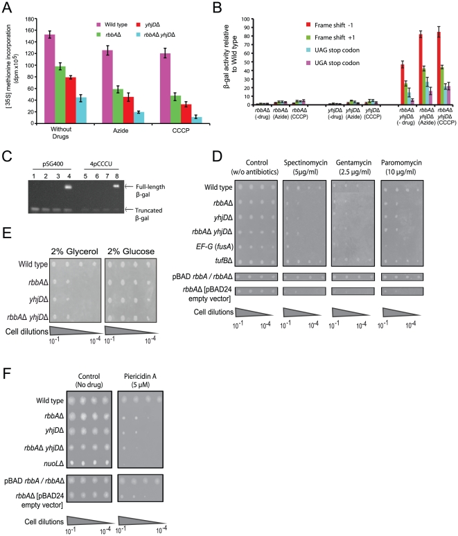 Protein synthesis, miscoding and ETC are impaired by deletions of rbbA and yhjD . (A) Incorporation of [ 35 S]-methionine into total proteins of the wild type and the indicated deletion strains in the absence and presence of sodium azide (500 µM) or CCCP (10 µM). Error bars indicate mean ± SD. (B) Elevated rates of frame-shifting and stop-codon read-through in wild type and in the indicated deletion strains in the absence and presence of sodium azide (500 µM) or CCCP (10 µM). Error bars indicate mean ± SD. The β-gal activity is normalized to the activity of β-lactamase that has been used as an internal control. (C) Immunoblot of the full-length and truncated β-gal is assayed after transforming the reporter plasmid pSG400 carrying a premature UAG stop codon expressed in rbbA-yhjD double mutant (Lane 4) and in the rbbA (Lane 2) and yhjD (Lane 3) single mutants. The assay was also performed with another reporter plasmid 4pCCCU containing +1 frame-shift expressed in rbbA - yhjD double mutant (Lane 8) and in the rbbA (Lane 6) and yhjD (Lane 7) single mutants. The wild type and plasmids pSG400 (Lane 1) and 4pCCCU (Lane 5) served as controls. (D) Growth sensitivity assay of the indicated deletion strains in the presence or absence of antibiotics affecting miscoding, translocation and accuracy of protein synthesis. The minimum inhibitory concentration (MIC) of the antibiotic is shown in parenthesis. The hypomorphic allele of the essential gene fusA and the non-essential mutant tufB served as controls. (E) Serial-dilution assay showing the reduced growth fitness defect of rbbA - yhjD double mutants and their corresponding single mutants on M9 minimal media in the presence of 2% glucose or glycerol. (F) Growth sensitivity of the indicated deletion strains in the presence or absence of piericidin A targeting the NDH (Complex I) in ETC. The MIC of the drug is shown in parenthesis. The nuoL mutant served as control.