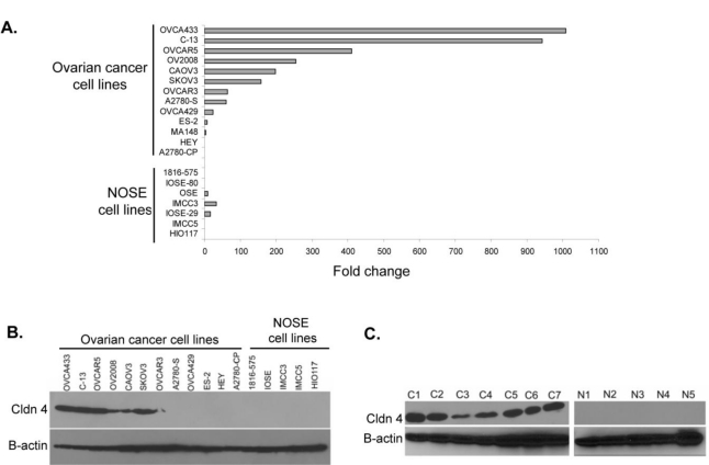 Claudin 4 RNA and protein expression in ovarian cancer tissues and cell lines . ( A ) Claudin 4 RNA expression in 13 ovarian cancer cell lines and 7 NOSE cell lines as determined by qRT-PCR. Expression values shown as fold change over the lowest expressing cell line (1816–575), and are the average of two experiments (see Experimental section). ( B ) Claudin 4 protein expression was determined by Western immunoblot analysis of ovarian cancer and NOSE cell lines (50 μg protein/lane). β-actin serves as a loading control. ( C ) Claudin 4 protein expression was determined by Western immunoblot analysis of 7 primary stage III/IV serous ovarian cancer tissues (C1–C7) and 5 normal ovaries (N1–N5) (50 μg protein/lane). β-actin, loading control.
