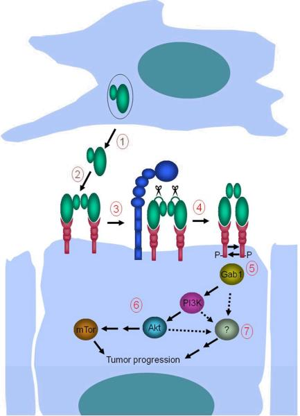 Potentiation of squamous cell carcinogenesis by matriptase 1. Mesenchymal cells located in close proximity to c-Met- and matriptase-expressing basal keratinocytes with high tumorigenic potential secrete single-chain proHGF/SF into the pericellular microenvironment. 2. ProHGF/SF binds c-Met with high affinity on the keratinocyte cell surface. 3. Matriptase cleaves and converts single-chain proHGF/SF to signaling-competent two-chain HGF/SF. 4. Matriptase-cleaved two-chain HGF/SF undergoes a conformational change that enables c-Met activation by autophosphorylation. 5. Activation of c-Met leads to recruitment of Gab1 and other effectors of c-Met signaling. 6. Gab1 recruitment initiates a pro-tumorgenic PI3K-Akt-mTor signaling pathway. 7. Activation of additional unidentified signaling pathway(s) located downstream from c-Met (hatched arrows) induces constitutive keratinocyte proliferation. Matriptase-induced mTor activation and mitogenic signaling, in combination with other epigenetic and genetic changes ( ras -dependent and ras -independent), causes malignant transformation. The model is synthesized on the basis of data obtained in (7), and the current study.