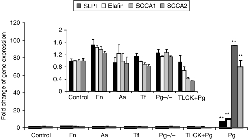 P. gingivalis supernatant significantly induced mRNA gene expression of epithelial protease inhibitors (SLPI, elafin, SCCA1, and SCCA2). GECs were stimulated with cell-free supernatants of P. gingivalis (Pg), P. gingivalis mutant KDP112 (Pg−/−), T. forsythia (Tf) A. actinomycetemcomitans (Aa), and whole bacterial F. nucleatum (Fn) at MOIs of 100 or equivalent for 24 h. Change of mRNA expression was evaluated by QRT-PCR and results are expressed as fold change in gene expression compared with the unstimulated control after normalization with the housekeeping gene ribosomal phosphoprotein (RPO). The change of gene expression of SLPI, elafin, SCCA1, and SCCA2 was minimal in GEC stimulated by Fn, Aa, Tf, Pg−/− compared to the unstimulated control (inset of Fig. 1 ). TLCK pre-incubated with P. gingivalis supernatant blocked upregulation. The data are derived from three different cell donors tested in duplicate. Error bars indicate SEM (standard error of the mean).