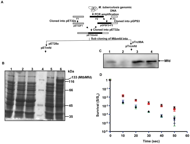 Cloning, expression and functional analysis of M. tuberculosis mfd (Mtbmfd) . A . Schematic showing the strategy used for cloning of Mtbmfd ; F1, F2 F3 represents three fragments of Mtbmfd obtained by PCR amplification from genomic DNA of M. tuberculosis by using set of specific primers. F1 was cloned into pET32a in MscI-KpnI sites and F2 was cloned into pGPS3 vector using KpnI-BsrB1 sites. F2+F3 fragment was obtained by ligation of F3 into PGPS3 containing F2 using BsrBI-HindIII sites. A 2.4 kb fragment containing F2+F3 was released using KpnI-HindIII sites from pGPS3 clone and ligated into pET32a F1 clone to obtain full length Mtb mfd gene. Sub cloning of Mtb mfd in pET28a and pTrc99A vectors were used for overexpression and in vivo assays respectively. B . SDS-PAGE analysis of overexpression of His-tagged MtbMfd in E. coli expression strain (Tuner) using pETmfd construct. Lane 1, total cell extracts of Tuner cells; lane 2, total cell extracts of uninduced Tuner cells carrying pET28a vector alone; lane 3, induced cell extracts of Tuner cells harboring pET28a vector; lane 4, protein molecular weight marker; lane 5, total cell extracts of uninduced Tuner cells carrying pETmfd construct and lane 6, total cell extract of induced cell extracts (0.3 mM IPTG) of Tuner cells carrying pETmfd construct. C . Western blot analysis using anti-MtbMfd polyclonal antibody for expression of Mfd in E. coli stains used for complementation studies; lane 1, AB1157; lane 2, UNCNOMFD; lane 3, pTrcmfd in presence of 0.5 mM of IPTG and lane 4, pTrcmfd. D . Effect of UV on survival (S/S 0 ) of E. coli strains; AB1157 (red, ▪); UNCNOMFD (blue, ▴); pTrcmfd (brown,▾) and pTrc99A (black,♦). Each value represents the average from three independent experiments. (Survival = S/S 0 ; where S 0 = number of bacterial colonies obtained without UV irradiation and S = number of bacterial colonies obtained after UV irradiation). (AB1157, E. coli wild-type strain; UNCNOMFD, mfd deficient stain of E. coli 