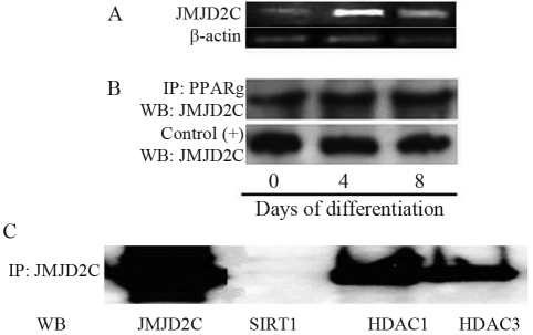 JMJD2C expression in the <t>3T3-L1</t> cell line, capacity of binding to histone deacetylases and – to PPARγ (A) <t>RNA</t> extractions and RT-PCR assays for JMJD2c were performed on 3T3-L1 cell line at days 0, 4 and 8 of differentiation; (B) Western blot showing JMJD2C expression at all days of differentiation; (C) Co-immunoprecipitation of JMJD2C and HDAC type I.