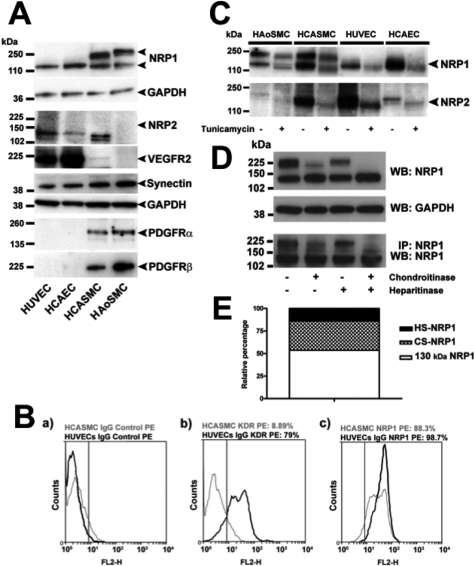 Neuropilin expression and glycosylation in human VSMCs and endothelial cells ( A ) Whole-cell lysates of HUVECs, HCAECs, HCASMCs and HAoSMCs were immunoblotted for NRP1, NRP2, VEGFR2, synectin, PDGFRα, PDGFRβ and GAPDH. NRP1 bands of approximately 130 kDa and > 250 kDa are indicated. ( B ) Cell-surface expression of NRP1 was examined in HUVECs and HCASMCs using flow cytometry as described in the Supplementary Online Data at http://www.BiochemJ.org/bj/435/bj4350609add.htm . KDR, kinase insert domain-containing receptor (VEGFR2); PE, phycoerythrin. ( C ) Confluent cultures of the cells indicated were pre-treated with (+) or without (−) 5 μg/ml tunicamycin for 16 h. Lysates were then prepared and immunoblotted with an antibody against NRP1 or NRP2. ( D ) Top and middle: HCASMCs were treated with chondroitinase, heparitinase or both enzymes combined (each at 1 unit/ml) for 4 h, and lysates were prepared and immunoblotted with an antibody against NRP1 or GAPDH. Bottom: NRP1 immunoprecipitates prepared from HCASMCs were incubated for 4 h with chondroitinase or heparitinase, and then immunoblotted with anti-NRP1 antibody. WB, Western blot; IP, immunoprecipitate. Results shown in ( A )–( D ) are representative of at least three independent experiments. Molecular masses are indicated in kDa. ( E ) Amounts of GAG-modified NRP1 after chondroitinase or heparitinase treatments in the Western blots shown in ( D ) were quantified by scanning densitometry, and used to calculate the relative levels of unmodified NRP1, HS-GAG–NRP1 and CS-GAG–NRP1 in HCASMCs. Results are mean percentages of total NRP1 immunoreactivity (non-GAG-modified 130 kDa NRP1 plus GAG-modified > 250 kDa NRP1).