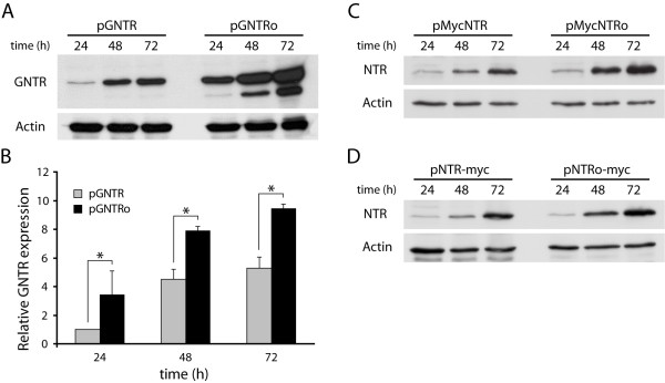 The nitroreductase expression in COS-7 cells is improved by codon usage optimization . (A) At the indicated time points cleared cellular lysates (20 μg) of pGNTR and pGNTRo-transfected cells were analyzed by immunoblotting using anti-GFP and anti-actin (loading control) antibodies. (B) Densitometric quantification of GNTR protein levels normalized to actin. Combined data of two independent experiments are represented as means ± SEM. *: p