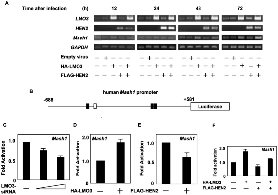 LMO3/HEN2-mediated transcriptional induction of Mash1 . (A) RT-PCR. SH-SY5Y cells were infected with empty adenovirus or with the indicated combinations of recombinant adenovirus encoding HA-LMO3 or FLAG-HEN2. At the indicated time points after infection, total RNA was analyzed for expression levels of LMO3 , HEN2 and Mash1 by RT-PCR. GAPDH was used as an internal control. (B) Schematic drawing of human Mash1 promoter. Nucleotide positions were indicated relative to transcriptional initiation site (+1). The putative HES1-binding sites and E-box were depicted by filled and open boxes, respectively. This genomic fragment was subcloned into appropriate restriction sites of pGL3-Basic Vector to give pluc-hMash1. (C) siRNA-mediated knockdown of LMO3 reduces the promoter activity of Mash1 . SH-SY5Y cells were co-transfected with constant amount of pluc-Mash1 (100 ng) and pRL-CMV (0.2 ng) in the presence or absence of increasing amounts of expression plasmid for siRNA against human LMO3 (100 or 400 ng). Forty-eight hours after transfection, cells were lysed and their luciferase activities were measured. (D) LMO3 transactivates Mash1 promoter. Mouse neuroblastoma Neuro2a cells (1×10 5 cells/24-well plate) were co-transfected with constant amount of pluc-hMash1 (100 ng) and pRL-CMV (0.2 ng) together with or without expression plasmid for HA-LMO3 (150 ng). Forty-eight hours after transfection, cells were lysed and their luciferase activities were measured. (E) HEN2 inhibits Mash1 promoter activity. Luciferase activities were measured in Neuro2a cells with or without FLAG-HEN2 (100 ng). (F) LMO3 interferes with negative effect of HEN2 on Mash1 transcription in Neuro2a cells. Luciferase activities were measured in Neuro2a cells transfected with HA-LMO3 (150 ng), FLAG-HEN2 (100 ng) or both of them.