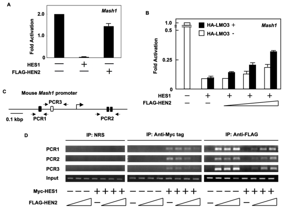 LMO3/HEN2 attenuates HES1-dependent down-regulation of Mash1 . (A) Luciferase reporter assay. Neuro2a cells were co-transfected with constant amount of pluc-hMash1 (100 ng), pRL-CMV (0.2 ng) and expression plasmid for HES1 (50 ng) or HEN2 (50 ng). Forty-eight hours after transfection, cells were lysed and their luciferase activities were examined. (B) Luciferase reporter assay. Neuro2a cells were co-transfected with constant amount of pluc-hMash1 (100 ng), pRL-CMV (0.2 ng) and expression plasmid for HES1 (5 ng) in the presence or absence of expression plasmid for HA-LMO3 (150 ng) together with or without increasing amounts of FLAG-HEN2 expression plasmid (100, 200 or 300 ng). Forty-eight hours after transfection, cells were lysed and their luciferase activities were examined. (C) Schematic representation of mouse Mash1 promoter. The canonical HES1-binding sites and E-box were indicated by filled and open boxes, respectively. The positions of primer sets used for chromatin immunoprecipitation (ChIP) assays were also indicated. (D) ChIP assay. Cross-linked chromatin prepared from Neuro2a cells transfected with the indicated combinations of expression plasmids was sonicated and immunoprecipitated with normal rabbit serum (NRS), polyclonal anti-Myc tag or with polyclonal anti-FLAG antibody. The genomic DNA was purified from the immunoprecipitates and amplified by PCR.