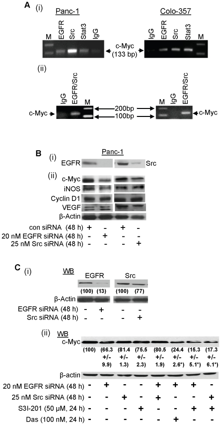 Chromatin immunoprecipitation assay and Western blotting analysis of c-Myc, iNOS, Cyclin D1, and VEGF expression in Panc-1 and Colo-357 cells. (A), Agarose gel electrophoresis of the Polymerase Chain Reaction (PCR)-amplified c-Myc gene fragment from the chromatin DNA precipitated with antibody against EGFR, Src, or Stat3, or with the non-specific IgG; and (B and C), Immunoblotting analysis of whole-cell lysates probing for EGFR or Src (B(i) and C(i)) or c-Myc, iNOS, Cyclin D1 or VEGF (B(ii) and C(ii)), and the effects of siRNA knockdown of EGFR (EGFR siRNA), Src (Src siRNA) or control (con) siRNA, or S3I-201 or Das). Bands corresponding to proteins or c-Myc gene in gel are shown; M, molecular weight marker, EGFR/Src, sequential immunoprecipitation with anti-EGFR and then anti-Src antibody. Data are representative of 3 independent studies, and values are mean and s.d of 3 independent studies; * p -