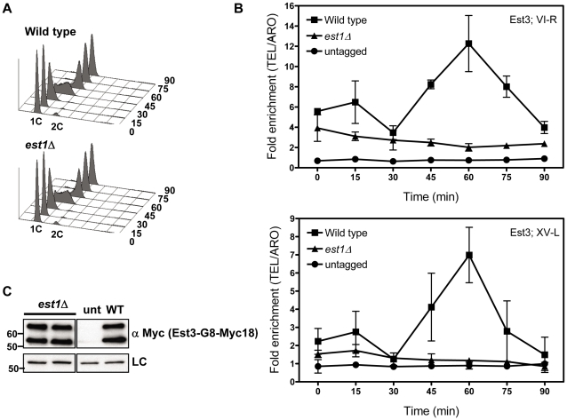 Telomere association of Est3 at late S/G2 phase is reduced in the absence of EST1 . Methods are the same as for Figure 1 . (A) Representative FACS analysis from one of four biological replicates from est1 Δ and WT strains expressing Myc-tagged Est3. (B) Quantitative real-time PCR analysis of Myc-tagged Est3 telomere association from untagged, WT and est1 Δ cells. The amount of telomere associated Est3 at G1 phase in est1 Δ cells was low but still significantly higher than in untagged cells at TEL-VI-R (0 min, P = 0.024; 15 min, P = 0.002; 30 min, P = 0.023) and at TEL-XV-L (0 min, P = 0.044; 15 min, P = 0.035). At early S-phase (30 min), Est3 telomere association was significant in est1 Δ cells compared to the untagged strain at TEL-VI-R (P = 0.023) but not at TEL-XV-L (P = 0.098). In est1 Δ cells, the amount of telomere associated Est3 at late S/G2 phase was significantly reduced at TEL VI-R (60 min, P = 0.0007) and at TEL XV-L (60 min, P = 0.0028) compared to WT. The amount of telomere associated Est3 later in the cell cycle was significant compared to the untagged strain at TEL-VI-R (45 min, P = 0.02; 60 min, P = 0.04; 75 min, P = 0.03; 90 min, P = 0.04) but not at TEL-XV-L (45 min, P = 0.09; 60 min, P = 0.07; 75 min, P = 0.46; 90 min, P = 0.58). (C) Anti-Myc western blots from whole cell protein extracts from asynchronous est1 Δ, untagged (unt) and WT (WT) strains expressing Myc-tagged Est3.