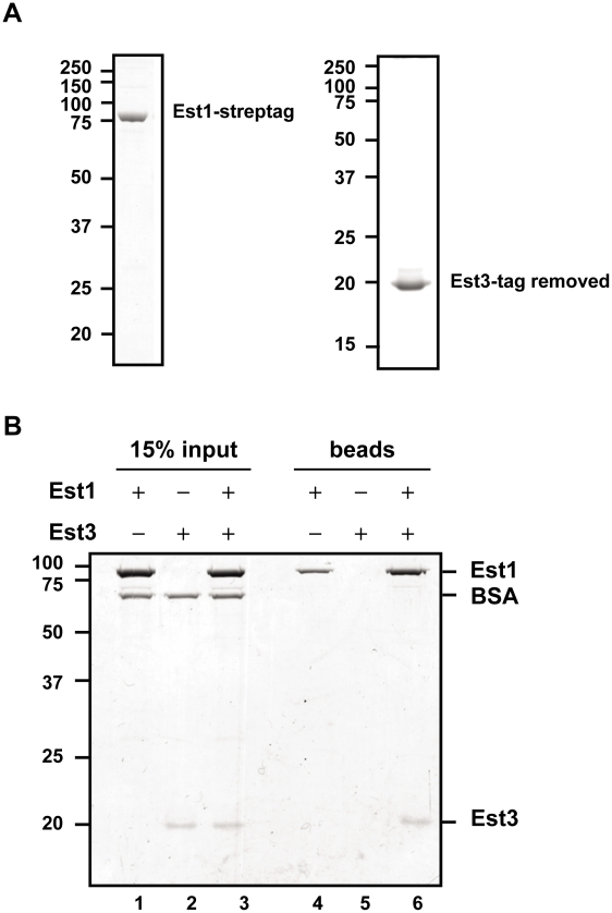 "Est1 and Est3 interact directly in vitro . (A) 1 µg of purified Strep-tagged Est1 (left panel) and tag-removed Est3 (right panel) was resolved on SDS-PAGE gels followed by staining with Coomassie brilliant blue. (B) Interaction between purified Est1 and Est3 was assessed by magnetic beads pull-down assay. The beads fractions is shown in lanes 4-6 (""beads""), and 15% of the input materials is shown as a control in lanes 1–3 (""15% input""). Positions of Est1, BSA, and Est3 are indicated on the right. Proteins were separated on a 10% SDS-PAGE gel and visualized by Coomassie blue staining."