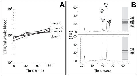 Growth of Nm in human whole blood and RNA analysis. ( A ) Number of bacteria during incubation with human blood. The CFU/ml per single donor is shown during a time course experiment. ( B ) Analysis of isolated total RNA and enriched Nm RNA using a BioAnalyzer 2100 (Agilent). Upper panel: Total RNA collected from Nm incubated in human whole blood, bacterial RNA (shaded arrowheads) and eukaryotic RNA (open arrowheads) are indicated. Lower panel: Enriched bacterial RNA.