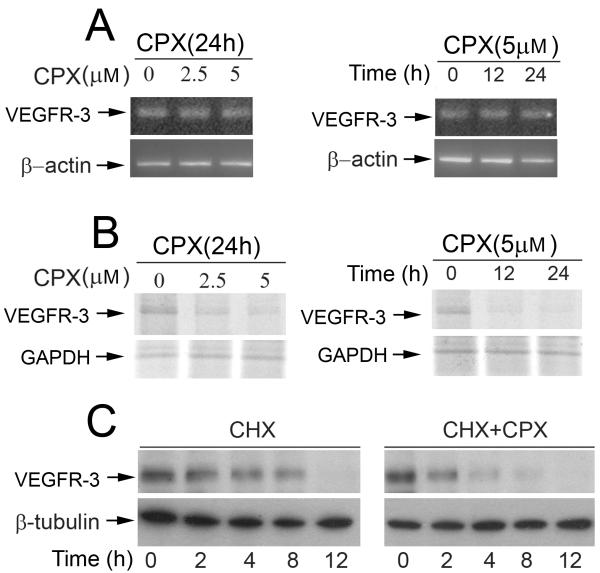 CPX does not alter mRNA expression, but inhibits protein synthesis and promotes protein degradation of VEGFR-3 A, CPX did not affect VEGFR-3 mRNA level. Total RNA was extracted from LECs treated with CPX (0-5 μM) for 24 h (Left panel) or with CPX (5 μM) for 0-24 h (Right panel), followed by semi-quantitative RT-PCR. β-actin was used as a loading control. B, CPX inhibited protein synthesis of VEGFR-3 in LECs. LECs were pretreated with CPX (0-5 μM) for 24 h (Left panel) or with CPX (5 μM) for 0-24 h (Right panel), and then pulsed with 35 S-Met/Cys for 4 h, followed by immunoprecipitation with antibodies to VEGFR-3. The immunoprecipitates were separated by SDS-PAGE and transferred to PVDF membranes, followed by autoradiography. GAPDH served as an internal control. C, CPX promoted protein degradation of VEGFR-3 in LECs. LECs, grown in 10% <t>FBS-DMEM</t> medium, were exposed to cycloheximide (CHX, 50 μg/ml), in the presence or absence of CPX (5 μM), for 0-12 h, followed by Western blot analysis with indicated antibodies.