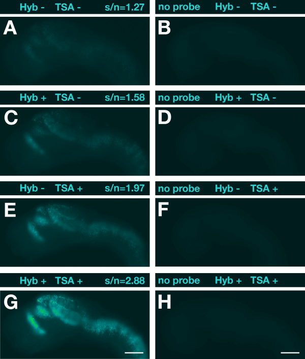 Optimization of hybridization and POD reaction by dextran sulfate . (A, C, E, G) Lateral views of 1-dpf zebrafish embryos hybridized with a digoxigenin-labeled antisense RNA probe specific for dbx1a are shown with anterior to the left. Above each panel signal-to-noise ratios (s/n) are indicated and whether dextran sulfate was added (+) or not (-) to the hybridization buffer (Hyb) and/or TSA reaction. (B, D, F, H) Embryos hybridized without probe were used as negative controls to assess background noise. Black-and-white pictures were recorded with identical exposure times using an Orca digital camera (Hamamatsu) on an Axioplan II microscope (Carl Zeiss). Images were false-colored with help of the ImageJ software and no further adjustments or other image processing was performed. Scale bar = 100 μm.