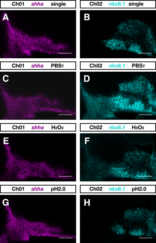 Inactivation of antibody-POD conjugate . Zebrafish embryos at 28 hpf were hybridized with dinitrophenyl-labeled shha and digoxigenin-labeled nkx6.1 RNA probes. (A, B) The expression patterns of shha (A) and nkx6.1 (B) as seen in single-color FISH experiments. In two-color experiments shha transcript was detected first using DyLight633-tyramide and nkx6.1 transcript was detected subsequently by FAM-tyramide. (C-H) Prior to the second round of detection, embryos were incubated for 10 minutes in PBS T (PBS plus 0.1% Tween-20) (C, D), PBS T containing 6% H 2 O 2 (E, F), or 100 mM glycine-HCl pH 2.0 (G, H). Single confocal sections of zebrafish brains are shown in the DyLight633-detection channel (Ch01) and in the FAM-detection channel (Ch02) from a lateral view and with anterior to the left. Images were recorded on a LSM510 microscope (Carl Zeiss) and false colored in ImageJ. Scale bar = 50 μm.