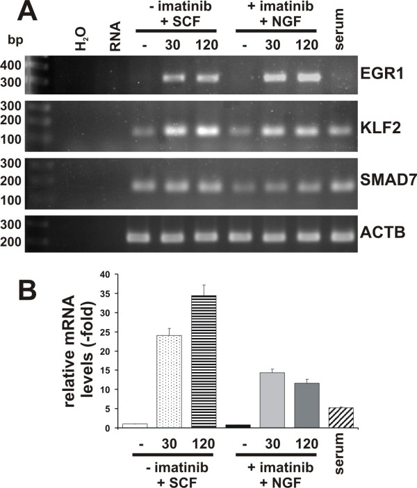 KLF2 and SMAD7 genes were upregulated by stimulation with SCF or NGF . A: HMC-1 (V560G c-Kit) cells were either incubated with serum (serum) or in serum free medium for 17 h, then treated without (-) or with (+) imatinib (5 μM) for 4 h prior to stimulation without (-) or with SCF (100 ng/ml) or NGF (100 ng/ml) for 30 (30) and 120 min (120). Total RNA was isolated and, after reverse transcription with Oligo dT-primers, cDNA was analyzed by semi-quantitative PCR for expression of EGR1, KLF2, SMAD7 and actin (ACTB). Water (H 2 O) and RNA (RNA) serve as negative controls. bp: base pairs of the DNA marker. B: Expression of KLF2 was quantified using TaqMan-PCR as in figure 3. Relative expression levels compared to GUSB were normalized to gene expression in serum-starved HMC-1(V560G c-Kit) cells. Average values from six independent PCR reactions + SEM are shown.