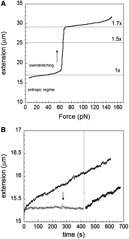 Nucleation through overstretching. ( A ) Overstretching curve for lambda-phage dsDNA. ( B ) Absence of growth without overstretching and constant force of 50 pN (black curve); however, a fast increase in force through the overstretching transition (sharp peak) can start RecA polymerization showing linear growth at 50 pN on dsDNA at pH 7.6, 10 mM MgCl 2 , 1 mM ATP and 1 µM RecA (gray and black curve). A rapid change in force between 47 and 55 pN is indicated by the arrow.