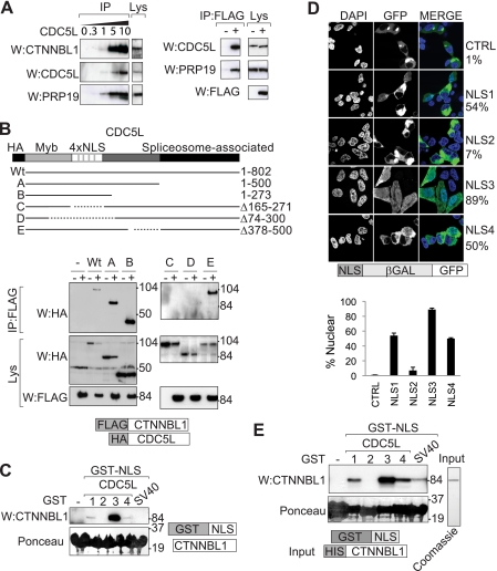 CTNNBL1 associates with the NLS region of CDC5L. A , immunoprecipitation of endogenous CDC5L from 293T cells (using increasing volumes in microliters of anti-CDC5L antibody) brings down endogenous CTNNBL1 and Prp19 ( left panels ); immunoprecipitation of FLAG-tagged CTNNBL1 from 293T[FLAG-CTNNBL1] transfectants (+) but not control 293T cells (−) brings down endogenous CDC5L and Prp19 ( right panels ). IP , samples analyzed following immunoprecipitation by Western blotting ( W ) with anti-CTNNBL1, anti-CDC5L, anti-Prp19 or anti-FLAG antibodies as indicated. Lys , an aliquot (7%) of the total cell lysate probed as a control. B , the 4×NLS domain of CDC5L is required for interaction with CTNNBL1. Lysates of 293T cells that had been transfected with HA-tagged deletion mutants of CDC5L together with (+) or without (−) FLAG-tagged CTNNBL1 were subjected to immunoprecipitation with anti-FLAG-agarose followed by Western blotting with anti-HA antibodies. The upper panels show the Western blots of the immunoprecipitated material ( IP ); the lower pairs of panels show the blots of the whole cell lysates ( Lys ). The migration positions of prestained molecular weight marker proteins are indicated. C , purification of the endogenous CTNNBL1 from 293T cell extracts was accomplished by fishing with recombinant GST-NLS fusion proteins. Computationally predicted NLS sequences from CDC5L were expressed as GST fusion proteins in E. coli and immobilized on <t>glutathione-Sepharose.</t> After incubation with 293T cell lysates, total Sepharose-bound proteins were subjected to SDS-PAGE and stained with Ponceau S prior to Western blotting ( W ) with anti-CTNNBL1 antiserum. D , nuclear targeting activity of predicted CDC5L NLS sequences was tested using confocal microscopy to analyze the intracellular localization of NLS-β-galactosidase-GFP fusion proteins transfected into 293T cells. Nuclei were counterstained with DAPI. The percentage of fluorescent cells exhibiting clear nuclear fluoresc