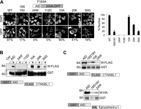 AID nuclear import mutants show diminished CTNNBL1 binding. A , subcellular distribution of chimeric AID[F193A]-β-galactosidase-GFP fusion proteins. AID[F193A]-β-galactosidase-GFP proteins with the indicated point mutations were expressed in 293T cells and visualized by confocal microscopy. Nuclei were counterstained with DAPI. The F193A mutation in the reporter protein interferes with the AID nuclear export sequence ( 28 , 29 ), allowing import to be monitored. The percentage of fluorescent cells exhibiting clear nuclear fluorescence is indicated. 30 cells transfected with each construct were counted. The mean ± S.D. calculated from three independent experiments are indicated. B , diminished interaction of AID nuclear import mutants with CTNNBL1. GST-tagged AID and point mutants thereof expressed in E. coli and bound onto glutathione-Sepharose were incubated with extracts of 293T cells that had been transfected with FLAG-CTNNBL1. Following SDS-PAGE, the abundance of GST-AID proteins was demonstrated by staining with Coomassie; bound FLAG-CTNNBL1 was detected by Western blotting ( W ) with anti-FLAG antibody. C , R24W and V18S,R19V mutations in AID affecting binding to both CTNNBL1 ( top panels ) and karyopherin α1 ( lower panels ). Binding of GST-AID mutants to FLAG-CTNNBL1 and HA-tagged karyopherin α1 was assessed as in B , except using ant-HA antibody to detect bound HA-karyopherin α1.
