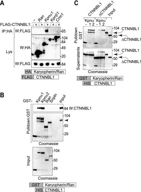 CTNNBL1 binds karyopherin α (but not β1) through its N-terminal region. A , immunoprecipitation of HA-karyopherin α1 (but not HA-tagged karyopherin β1, Crm1, or Ran) bringing down FLAG-CTNNBL1 from co-transfected 293T cell lysates. IP , samples subjected to immunoprecipitation on anti-HA-agarose were analyzed by Western blotting ( W ) with anti-FLAG antibody. Lys , Western blots of samples of total cell lysates were probed with anti-HA or anti-FLAG antibodies as a control. B , in vitro interaction between purified His-CTNNBL1 and purified GST-karyopherin αs. GST-tagged nuclear transport factors expressed in E. coli and bound onto glutathione-Sepharose were incubated with recombinant His-CTNNBL1. Following SDS-PAGE, bound CTNNBL1 was detected by Western blotting with anti-CTNNBL1 mAb ( top panel ) whereas total Sepharose-bound proteins were identified by Coomassie staining ( middle panel ). SDS-PAGE analysis of total input GST-fusion protein is shown in the bottom panel . The right lane in the top two panels shows the migration of purified His-CTNNBL1. Snptn , snurportin. C , the CTNNBL1 N-terminal region is required for interaction with karyopherin αs. GST-karyopherin α1/α2 bound to glutathione-Sepharose was incubated with purified His-CTNNBL1 or His-ΔCTNNBL1 (lacking the N-terminal 76 amino acids). Sepharose-bound proteins ( top panel ) as well as samples of the supernatants from the incubation (lower panel) were separated on SDS-PAGE and stained with Coomassie; aliquots of the input His-CTNNBL1 and His-ΔCTNNBL1 are shown in the two right lanes .