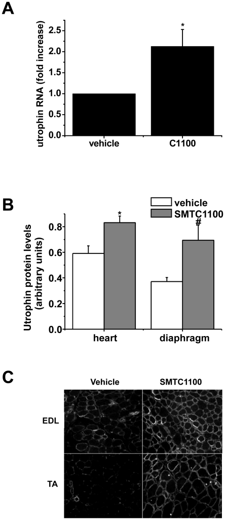 Effect of SMT C1100 on in vivo utrophin levels in the mdx mouse. (A) Two-fold increase in utrophin mRNA following daily oral administration of mdx mice with SMT C1100 (50 mg/kg/day) or vehicle only (PBS-Tween-20 (0.1%)/5% DMSO) from three weeks of age for four weeks. Results represent the mean ± S.E from six mice per treatment group and are corrected for β-actin. *p = 0.019; (B) Utrophin protein levels in heart and diaphragm following treatment of mdx mice as described in (A) above. Blots were stained with anti-utrophin (MANCHO3; 1∶100) and <t>ECL</t> <t>HRP-conjugated</t> anti-mouse antibody (GE Healthcare). Bands were quantified using Image J and arbitrary units represent utrophin levels corrected for equal loading by α-actinin immunostaining. Results represent a mean ±S.E from eight mice per treatment group except for heart vehicle only which is based on n = 7. *p