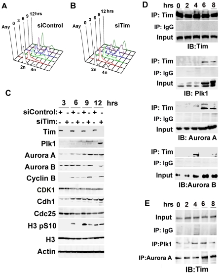 Cell cycle dependent interactions between Tim and mitotic entry kinases. A–B) siControl and siTim transfected HCT116 cells were synchronized by double thymidine and then assayed by PI staining and FACS analysis for cell cycle profile. C) Western blot of total cell extracts of synchronize HCT116 cells after siControl or siTim at cell stages shown in panels A and B for 3, 6, 9, and 12 hrs post-release from thymidine block. Western blot with antibody to Tim, Plk1, Aurora A1, Aurora B1, Cyclin B1, CDK1, Cdh1, Cdc25, histone H3 phospho S10, hitone H3, or Actin, are indicated. D) Immunoprecipitation with anti-Tim or control IgG antibody with extracts from HCT116 cells at 0, 2, 4, 6, or 8 hrs post-arrest from thymidine block. IPs were assayed by Western immunoblot (IB) with Tim, Plk1 Aurora A, or Aurora B antibody as indicated. E) HCT116 cells were synchronized as in panel D, and extracts were subject to IP with antibody to Plk1 (middle panel) or Aurora A (lower panel), followed by Western blot with anti-Tim. Input is shown in top panel, as indicated.