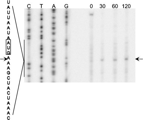 Txe-induced cleavage of  lpp  mRNA. The 5′ end of  lpp  mRNA was mapped by using the primer  lpp  21. Numbers indicate times (min) at which mRNA was harvested after the addition of IPTG. The major cleavage site is indicated by an arrow. The sequence around the major cleavage site is shown to the side, with the cleavage site again indicated by an arrow.