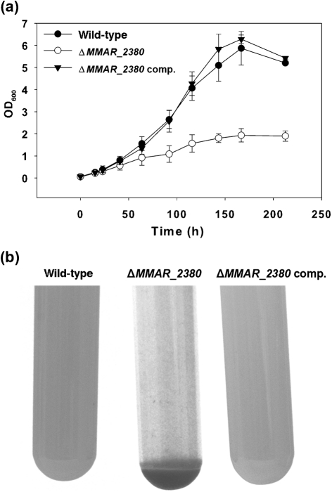 Physical appearance of liquid-grown M. marinum wild type, Δ MMAR_2380 and complemented Δ MMAR_2380 (Δ MMAR_2380 comp.). (a) OD 600 measurements during growth in 7H9+0.05 % Tween 80 with agitation. Shown are means of three independently grown cultures per strain; error bars sd . (b) M. marinum Δ MMAR_2380 shows increased aggregation as compared with the wild-type and the complemented strains (see Supplementary Fig. S4 for colour pictures).