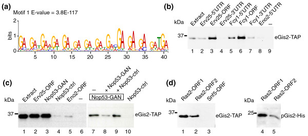 Gis2p preferentially binds to coding sequences that bear GAN repeats . (a) Conserved sequence element in the ORF of Gis2p targets identified with MEME. The E-value reflects the probability to detect the motif by chance. (b) RNA-protein complexes formed between biotinylated RNA fragments and Gis2-TAP were purified on streptavidin beads and monitored by immunoblot analysis. Representative experiments from at least three biological replicates are shown. Biotin labeled fragments comprising the 5'-UTRs (lanes 2 and 5), ORFs (lanes 3 and 6), and 3'-UTRs (lanes 4 and 7) of Erv25 and Fcy1 were incubated with extracts of Gis2-TAP expressing cells (lane 1). Eno2-5'UTR (lane 8) is a negative control RNA derived from the 'non-target' ENO2 (lane 8) and a sample without RNA (lane 9) was used to control for RNA-independent binding to the beads. (c) RNA pull-downs with RNA fragments derived from NOP53 . Nop53-GAN (lanes 3 and 7 to 9) contains a GAN-rich sequence element whereas the similarly sized fragment Nop53-ctrl does not (lanes 4 and 10). Erv25-ORF (lane 2) and Eno2-ORF (lane 5) are positive and negative control RNAs, respectively. Binding of Gis2-TAP to Nop53-GAN was competed with a ten-fold excess of non-biotinylated Nop53-GAN (lane 8) but not with excess of Nop53-ctrl (lane 9). (d) RNA pull-downs with two fragments derived from the RAS2 ORF. Biotinylated RNAs were incubated with extracts from yeast cells expressing Gis2-TAP (eGis2-TAP, lanes 1 to 3) or with Gis2-His expressed and purified from Escherichia coli (pGis2-His, lanes 4 and 5). A fragment derived from the ORF of SNF5 was used as a negative control RNA (lane 3).