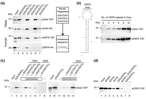 Gis2p and ZNF9 bind specifically to GWW repeats in RNA and to G-rich sequences in ssDNA . RNA-protein complexes formed between biotinylated RNAs and yeast extracts expressing Gis2-TAP or ZNF9-TAP (eGis2/eZNF9) or recombinant Gis2-His or ZNF9-His purified from E. coli (pGis2/pZNF9) were captured with streptavidin beads and visualized by immunoblot analysis with specific antibodies detecting the TAP or His tag. Representative experiments from at least three biological replicates are shown. (a) RNA pull-downs with short biotinylated RNAs bearing different nucleotide triplet repeats (lanes 2 to 7). The consensus sequence for protein-RNA interaction is depicted on the right. (b) Testing different sizes of GWW loops for interaction with Gis2p/ZNF9 (lanes 1 to 6). The predicted stem-loop structure with varying sizes of GWW-loops is shown to the left. (c) RNA pull-downs after the addition of ten-fold excess of non-labeled competitor RNA (lanes 3 to 5) or ssDNA (lanes 6, 7, and 12 to 14). No RNA was added to control for unspecific binding of proteins to the beads (lanes 8 and 11). (d) Binding ZNF9 to human RNAs containing at least three GWW repeats in the coding region (lanes 2 to 4). (GAUGAA) 5 was used as positive control (lane 5), and (GAUGCU) 5 as negative control (lane 7). Binding of ZNF9 to MYH4 RNA was efficiently competed with ten-fold excess of unlabeled (GAUGAA) 5 RNA (lane 6). A reaction without RNA is shown in lane 8.