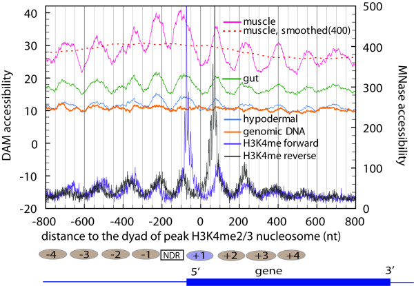 DAM accessibility correlates with nucleosome positions . This figure shows the superimposition of average DAM accessibility versus average <t>MNase</t> accessibility around the transcription start site (TSS) of 3,904 strongly expressed C. elegans genes. The dotted red curve represents a moving average of the muscle profile with a sliding window of 400 nucleotides. Positioned <t>H3K4me2/3</t> nucleosomes are represented by ovals above the picture of the generic gene. Numbers on the nucleosomes indicate their positions relative to the TSS. [NDR = nucleosome depleted region]