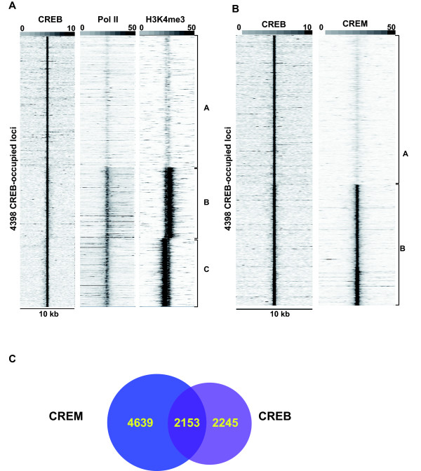 Correlative analysis of CREB and CREM binding site occupancy . A. Association of CREB, pol II and H3K4me3 in GC1-spg cells. Comparison of pol II and H3K4me3 tag density in the region of +/- 5 kb around the CREB-occupied loci. Clustering analysis identifies 3 classes, A; CREB loci with low or no pol II and H3K4me3, B-C; CREB loci with high pol II and H3K4me3 corresponding to transcription on the sense and anti-sense strands, respectively. B. Comparison of CREM tag density in the region of +/- 5 kb around the CREB-occupied loci. Clustering identifies 2 groups A; CREB loci with low or no CREM and B; CREB loci with high CREM. C . Venn diagramme comparing common and cell-specific CREB/CREM occupancy of binding sites using the CREB data in panel B and the equivalent analysis of the CREM occupied loci (data not shown).