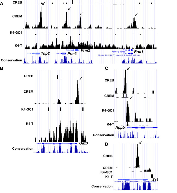 Specific occupancy of target promoters by CREM and CREB . A-D . Graphic representation of ChIP-seq results as. wig format files in UCSC web browser at the indicated loci. The same format has been used for Figs. 6 and 7 as well as Additional file 1 , Figs. S4 and 5. The ChIP-seq results for CREB and CREM in GC1-spg and testis haploid cells respectively are shown along with results for H3K4me3 in GC1-spg cells (K4-GC1) and testis (K4-T). In addition, the mammalian conservation track from the UCSC browser is also included. CREM and CREB binding peaks are indicated by arrows.