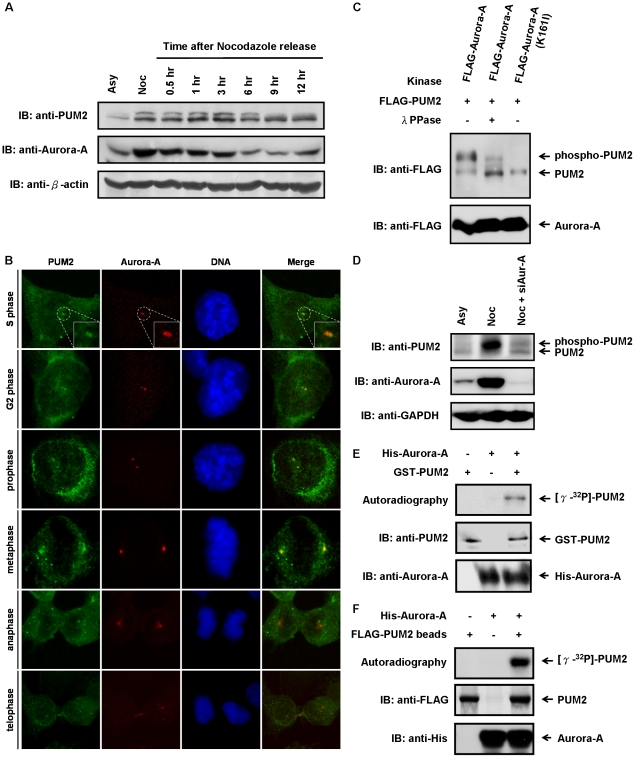 The cell cycle-regulated protein, PUM2, is a novel substrate of Aurora-A kinase. (A) PUM2 exhibites remarkably variations both in protein quantity and phosphorylation state during exit from the G2/M block. HeLa cells were synchronized in the G2/M phase by treatment with nocodazole for 16 hrs and subsequently released into cell cycle progression by removal of the nocodazole. At the indicated time points, the cells were harvested and analyzed by immunoblotting. Asynchronously (Asy) growing cells were analyzed in parallel. (B) PUM2 was localized at the centrosomes from S phase to metaphase. The CL 1–5 cells were fixed and probed with anti-PUM2 antibody (green) and anti-Aurora-A antibody (red), and the DNA was stained with DAPI (blue). The cells were visualized using confocal fluorescence microscopy. (C) PUM2 is a novel substrate for Aurora-A. HEK293T cells were transfected with FLAG-tagged PUM2 in combination with FLAG-tagged Aurora-A (the wild-type or kinase-inactive mutant). To confirm whether the gel mobility up-shift was derived from phosphorylated PUM2, the cell lysates were treated with and without λ protein phosphatase. (D) The M phase-specific electrophoretic mobility shift of PUM2 is abolished in Aurora-A-depleted cells. HeLa cells were transfected with Aurora-A specific siRNA (siAur-A) and synchronized in the G2/M phase by treatment with nocodazole for 16 hrs. The cells were harvested and analyzed by immunoblotting. (E, F) PUM2 is an in vitro substrate of Aurora-A. GST-tagged PUM2 (E) or FLAG-tagged PUM2 immunoprecipitated from cell lysates (F) was incubated, either alone or in combination with recombinant His-tagged Aurora-A, in the presence of [γ-32P]-ATP. The samples were electrophoresed using SDS-PAGE and transferred to a PVDF membrane. They were then either autoradiographed or immunoblotted.