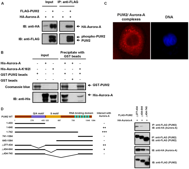PUM2 interacts physically with Aurora-A, and the S motifs, not the PUM-HD motif, of PUM2 are required for this interaction. (A) PUM2 forms a complex with Aurora-A in HEK293T cells. HEK293T cells were transfected with HA-tagged Aurora-A, either alone or in combination with FLAG-tagged PUM2. The samples were immunoprecipitated using an anti-FLAG antibody and then immunoblotted with an anti-HA antibody to detect Aurora-A. (B) Recombinant Aurora-A and PUM2 form a complex as determined using a GST pull down assay. Purified GST-PUM2 fusion protein or a control (GST immobilized on glutathione-Sepharose 4B beads) was incubated with purified His-tagged Aurora-A or kinase-inactive mutant protein (Aurora-A-K162I). Bead-bound proteins were immunoblotted against an anti-His antibody, and the gel was also stained with coomassie blue. His-tagged Aurora-A and kinase-inactive mutant protein alone are also shown. (C) Detection of endogenous PUM2-Aurora-A complexes by in situ proximity ligation assay (PLA). Complexes between endogenous PUM2 and Aurora-A were visualized by staining CL 1–5 cells with anti-PUM2 and anti-Aurora-A antibodies. Each red dot represented an interaction detected by the PLA assay. DNA was stained with DAPI (blue) and the cells were visualized using confocal fluorescence microscopy. (D) The S motifs of PUM2 are required for the interaction with Aurora-A. Five PUM2 truncation mutants and three deleted PUM2 mutants were generated based on the putative domains present in PUM2. HEK293T cells were transfected with HA-tagged Aurora-A and various FLAG-tagged PUM2 mutants. The cell lysates were immunoprecipitated with an anti-FLAG antibody and then immunoblotted with an anti-HA antibody to detect Aurora-A.