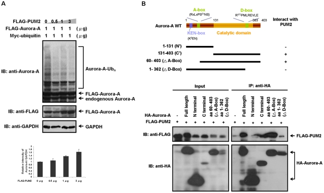Binding of PUM2 to Aurora-A protects Aurora-A from APC/C Cdh1 -mediated degradation. (A) PUM2 blocks the ubiquitination of Aurora-A. HEK293T cells were transfected with FLAG-tagged Aurora-A, together with different amounts of FLAG-tagged PUM2. Myc-tagged ubiquitin was also added to reveal the ubiquitination of Aurora-A. 24 hrs after transfection, the cells were synchronized in the G2/M phase by treatment with nocodazole for 16 hrs. Subsequently, the synchronized cells were released into cell cycle progression in the presence of a proteasome inhibitor (MG132) for 9 hrs. High molecular weight ubiquitinated Aurora-A accumulated in the transfected cells that were treated with MG132, as shown. The relative intensity of protein bands represented the steady-state protein level of Aurora-A on immunoblotting analysis were quantified and normalized to GAPDH. (B) The D-box of Aurora-A mediates its association with PUM2. HEK293T cells were transfected with FLAG-tagged PUM2 and various HA-tagged Aurora-A fragments. The cell lysates were immunoprecipitated with an anti-HA antibody and immunoblotted with an anti-FLAG antibody to detect PUM2.