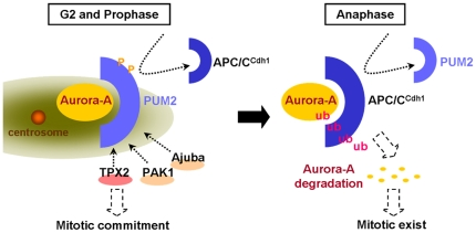 The mechanism by which PUM2 regulates the cell cycle progression. Through recruitment of the Aurora-A activator and by protecting Aurora-A from attack by APC/C Cdh1 , PUM2 might trigger an increase in the amount of Aurora-A and increase its kinase activity dramatically, causing mitotic entry.