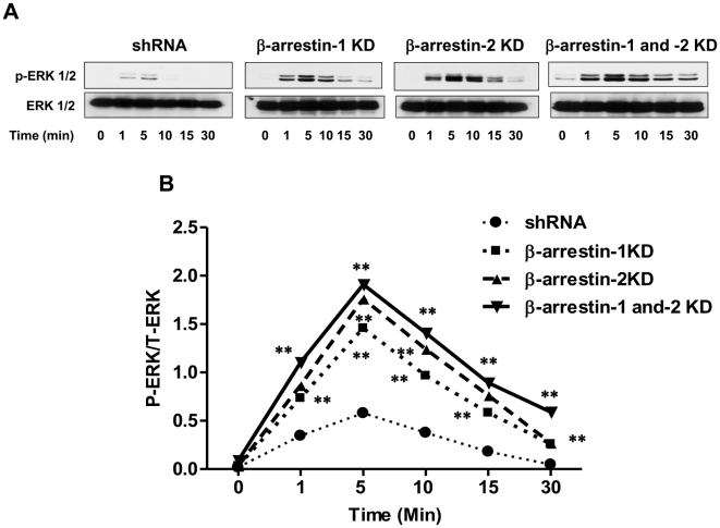 C3a-induced ERK1/2 phosphorylation is enhanced in β-arrestin-1, β-arrestin-2 and double KD cells. shRNA control or β-arrestin KD HMC-1 cells (1×10 6 /ml) were exposed to C3a (100 nM) for 1, 5 and 10, 15 and 30 min. Cell lysates were separated on SDS-PAGE and blots were probed with anti-phospho-ERK1/2 antibody followed by anti-rabbit IgG-HRP. The blots were then stripped and reprobed with anti-ERK1/2 antibody followed by anti-rabbit IgG-HRP. Immunoreactive band were visualized by SuperSignal West Femto maximum sensitivity substrate. (A) Representative immunoblots from three similar experiments are shown. (B) ERK1/2 phosphorylation was quantified using Image J as shown in the line graph. Data represent the mean ± SEM from three independent experiments. Statistical significance was determined by two way ANOVA with Bonferroni's post test. ** indicates p