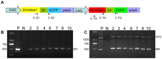 Genotype identification of multi-transgenic piglets. (A) Positions of the two primer pairs for genotype identification. Genomic DNA from Piglet 2, 3, 4, 6, 7, 9, 10 was extracted, whereas ZC (B) and TG (C) bicistronic cassettes in the genome were detected by PCR using appropriate primers. Lane 1, DNA marker; lane 2, positive control; lane 3, negative control; lane 4–10, genomic DNA from Piglet 2, 3, 4, 6, 7, 9 and 10.