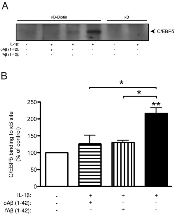 IL-1β-induced C/EBPδ binding to a κB site is inhibited by Aβ . A) Representative western blot of C/EBPδ after <t>streptavidin-agarose</t> pull-down using biotinylated κB oligonucleotides. Primary astro-microglial cells were exposed to oligomer- or fibril-enriched preparations of Aβ (10 μM, oAβ or fAβ) in combination with IL-1β (10 ng/ml) for 3 h. κB oligonucleotides without biotin were used as a control for unspecific binding. B) Relative levels of C/EBPδ binding to the κB site showing that IL-1β induces a significant increase that is inhibited after Aβ exposure. The data represent mean ± SEM for three independent experiments. *p