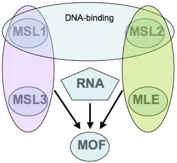 Summary of the known interactions of the male-specific lethal (MSL) complex subunits . MSL1 and MSL2 form a DNA-binding module, the specificity of which requires the association of MSL2 with roX RNA. The association of MSL1 and MSL3 with MOF enhances its histone acetyltransferase activity and specificity. MLE and MSL2 interact and contribute to MOF activity. Maleless (MLE) is responsible for the incorporation of roX RNA in the complex and requires roX RNA to associate with the complex. The roX RNA is needed for full histone acetylation. Please see the discussion section for details of these associations.